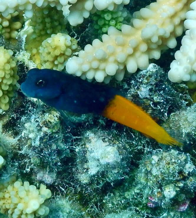 A Flametail Blenny Fish near a coral.