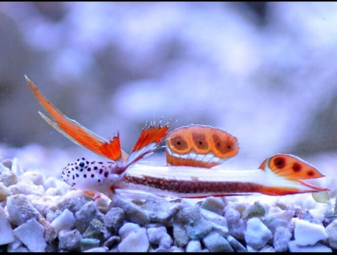 A Flaming Prawn Goby laying on the substrate