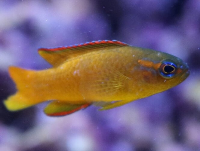 Close up photo of a Gold Assessor Basslet Fish