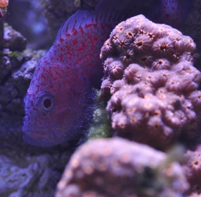 A Gumdrop Croucher hiding behind a coral