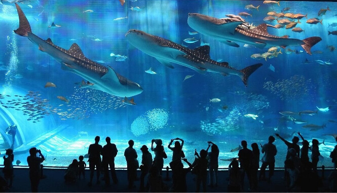 Multiple big whale sharks swimming in the Okinawa aquarium in Japan.