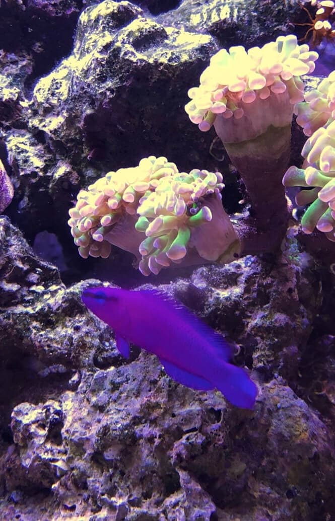 An Orchid Dottyback Fish in front of a rock