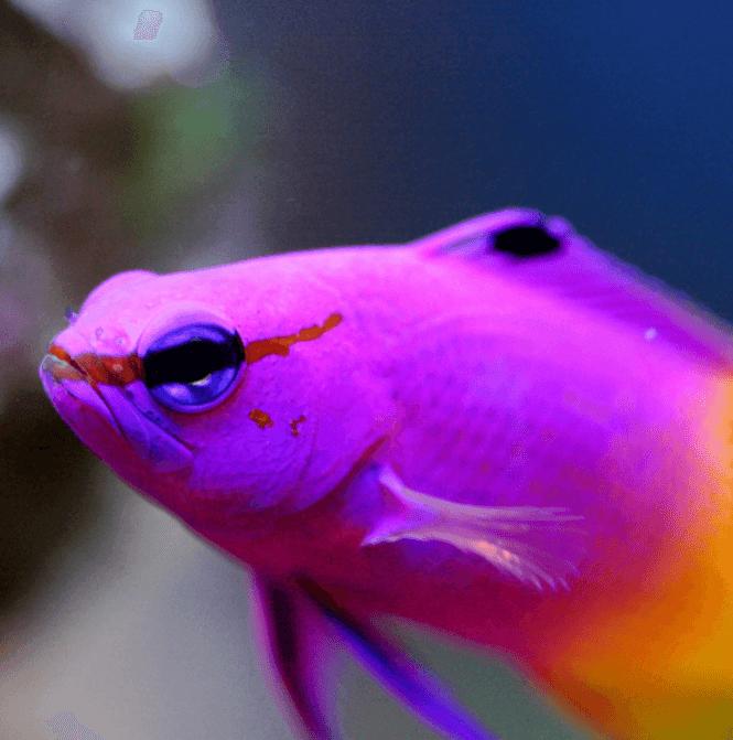 Royal Gramma Fish up close