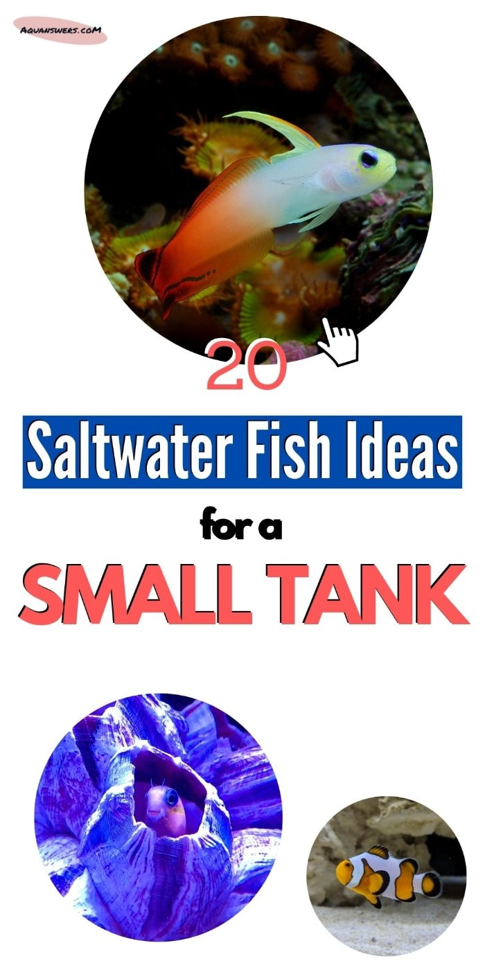 saltwater fish for small tank