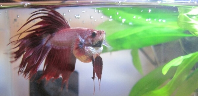 Betta with a severely bloated belly