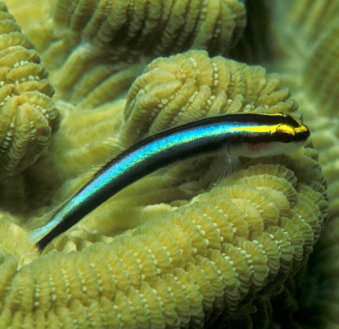 A small Sharknose Goby surrounded by corals.