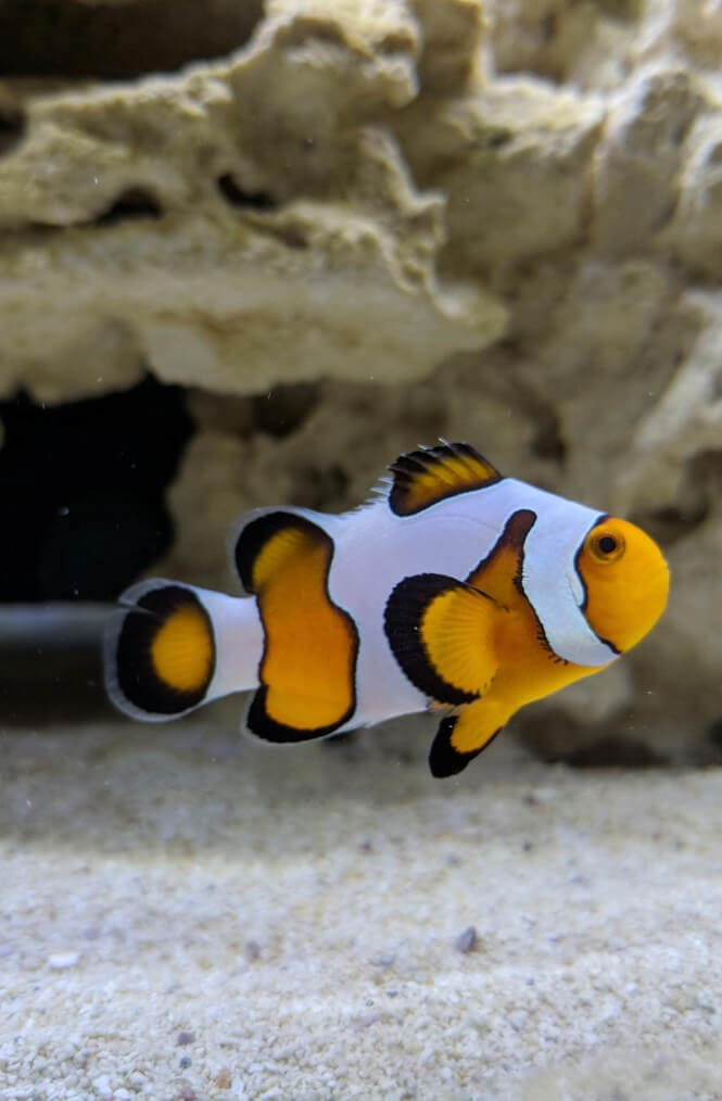 An Ocellaris Clownfish in front of a rock.