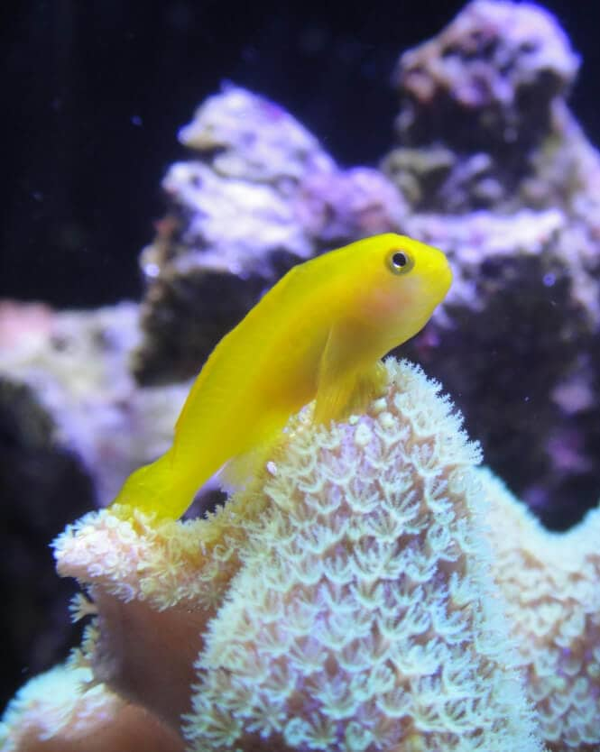 A bright Yellow Clown Goby Fish over a coral.