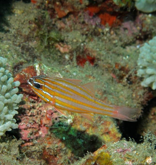 A Yellow-Striped Cardinalfish swimming in a reef aquarium.