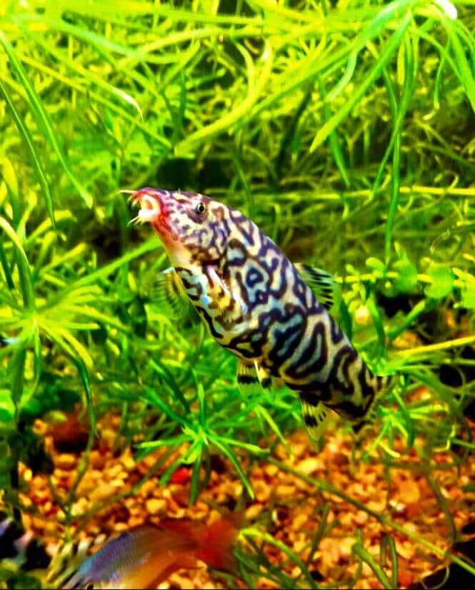 Almora Loach in a planted fish tank