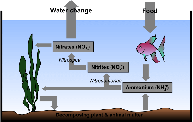 How the Nitrogen cycle works in a fish tank