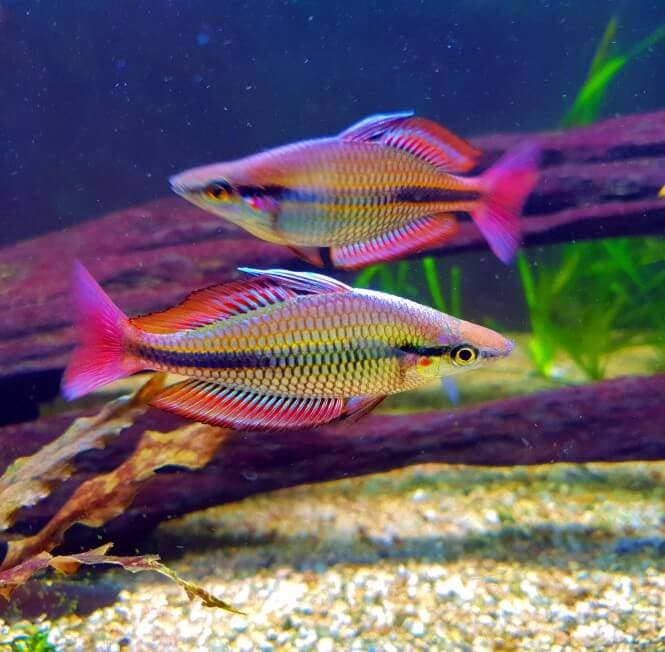 Two Banded Rainbowfish with extremely vibrant color