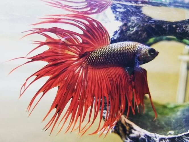 Crowntail Betta showing off its red tail and fins