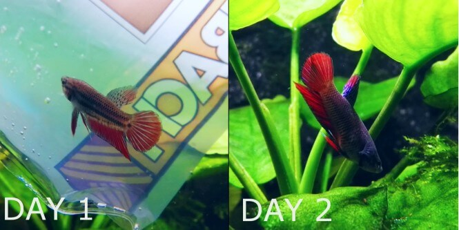 Before and after color enhancement in Betta Fish