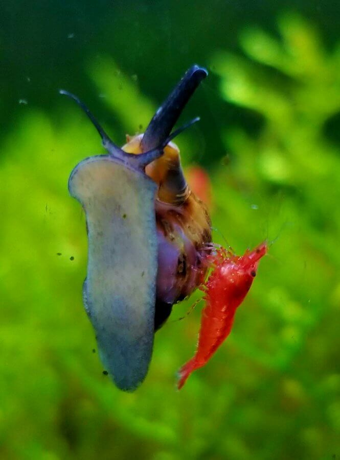 Assassin Snail and a Red Cherry Shrimp