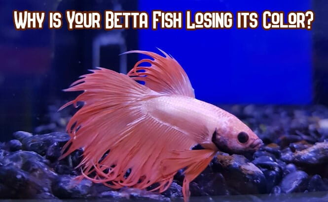 pale Betta fish after losing its color