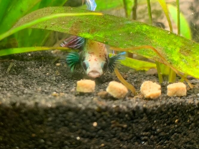 Betta fish picking on sinking commercial food