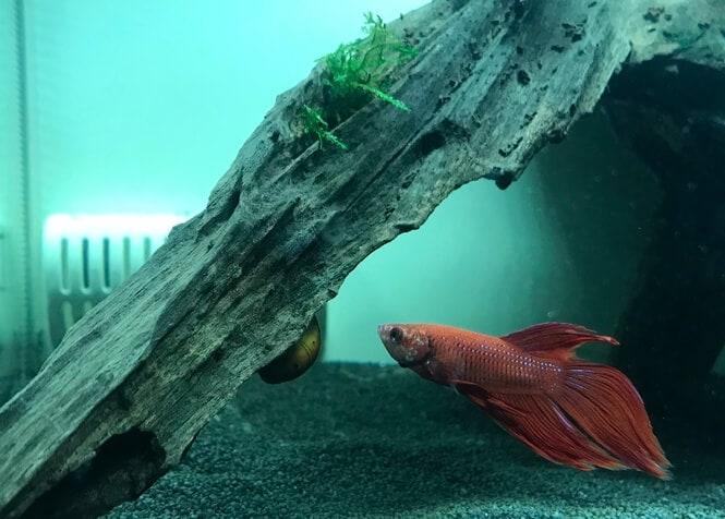 A hungry Betta inspects an aquatic snail on a driftwood
