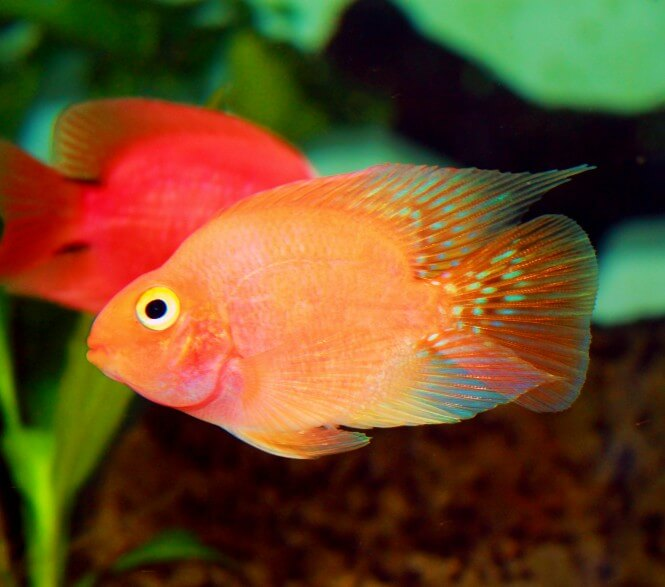 A Blood Parrot Cichlid that has a bright orange coloration with pink hue to it