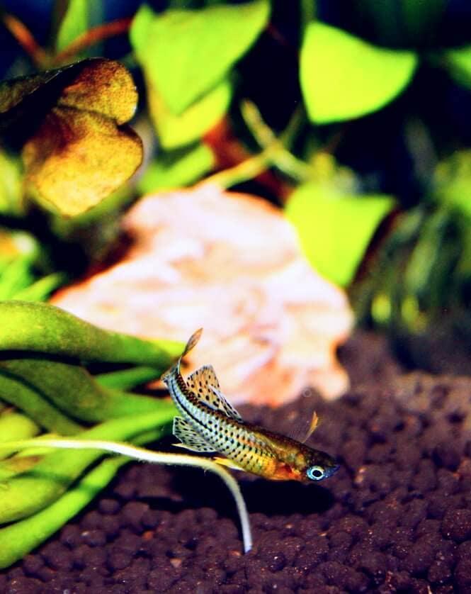 Blue-Eyed Spotted Rainbowfish
