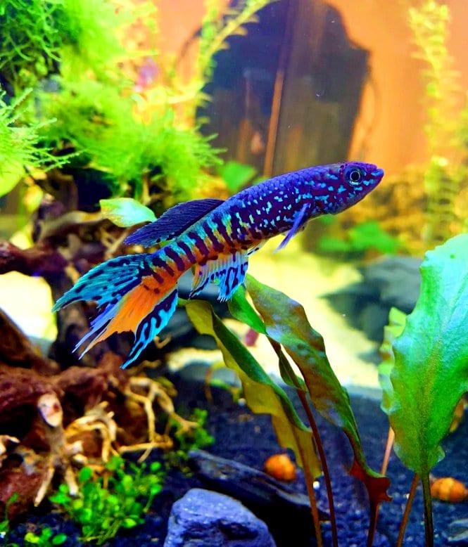A Blue Gularis Killifish swimming diagonally
