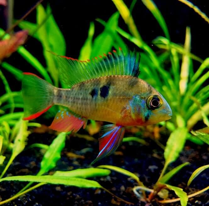 A colorful Bolivian Ram Cichlid in a planted fish tank