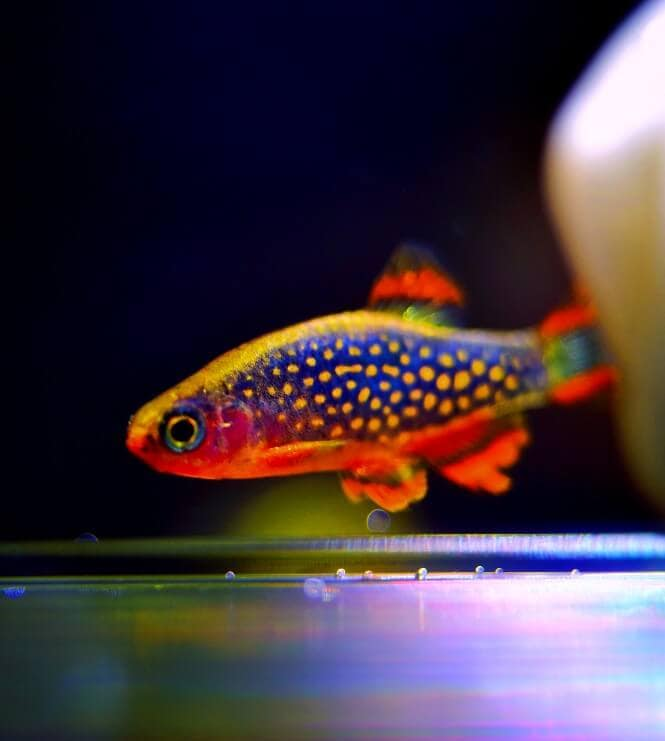 A Celestial Pearl Danio with vivid color patters