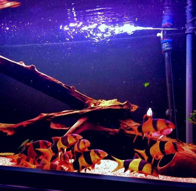 A school of Clown Loaches in an aquarium