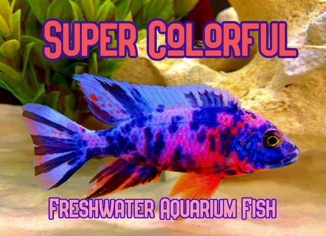 A Super Colorful Freshwater Peacock Cichlid Fish