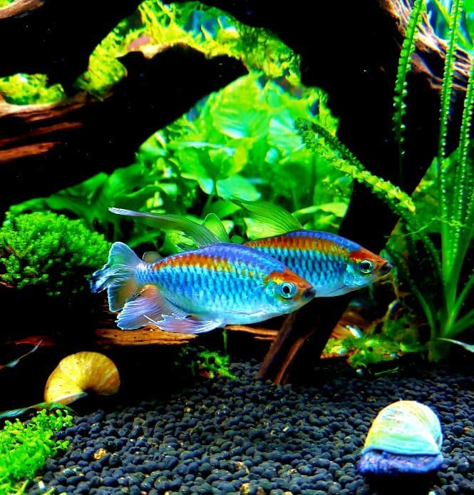 Two beautifully colored Congo Tetra fish swimming together in a planted aquarium