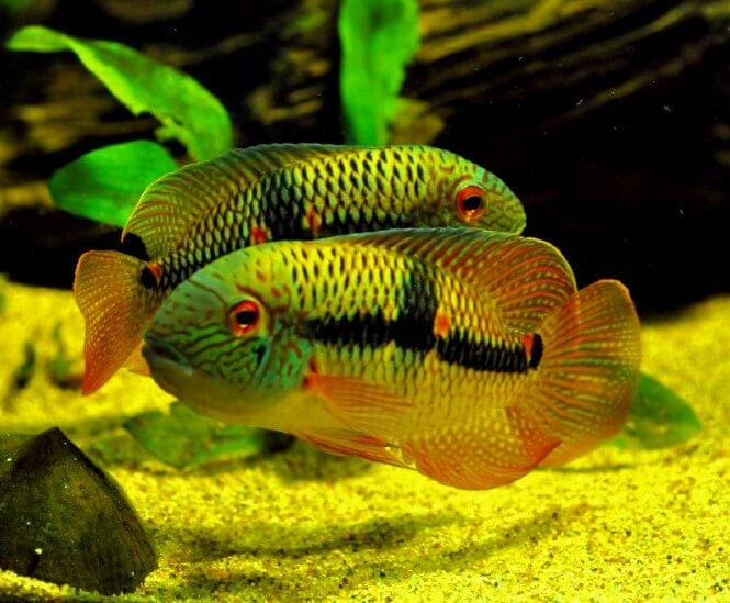 Two vibrantly-colored Diadema Cichlids