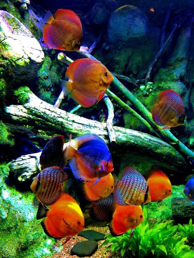 Multiple colorful Discus Fish