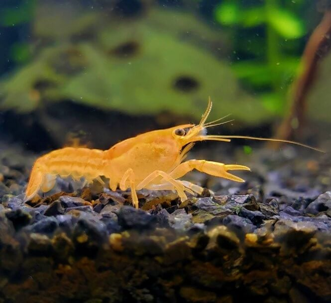 Dwarf Crayfish close-up