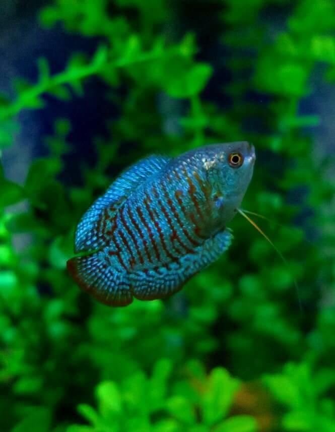 Dwarf Gourami swimming in its planted aquarium