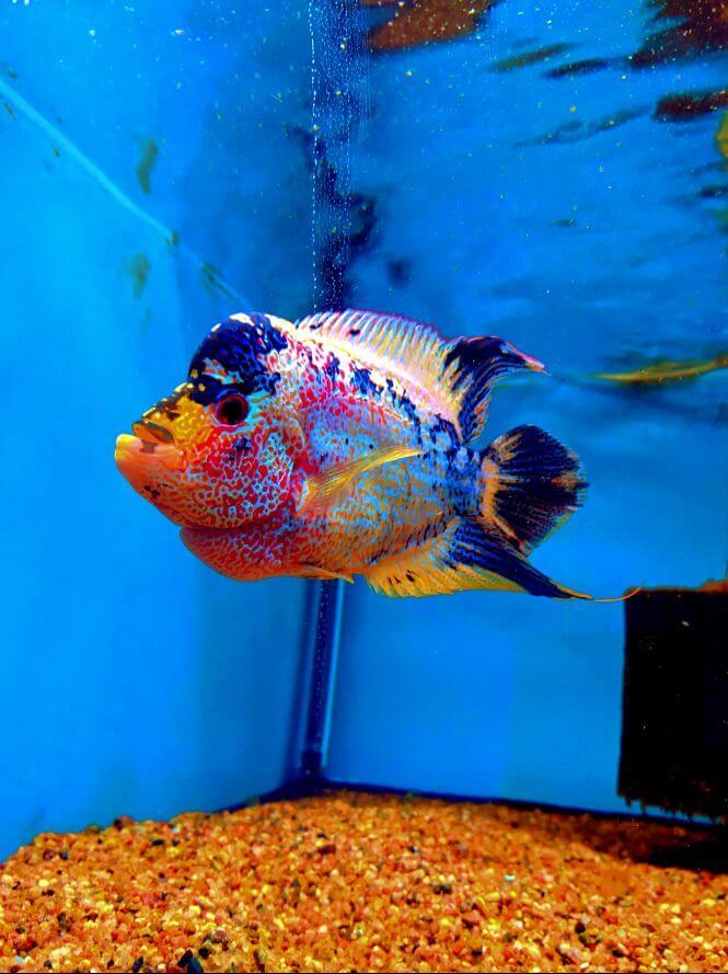A Flowerhorn Cichlid in a fish tank