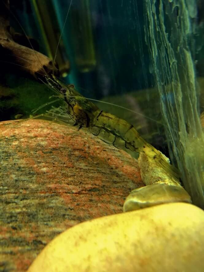A Ghost Shrimp standing on a rock