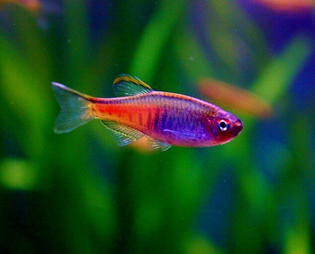 A Glowlight Danio with colorful body patterns