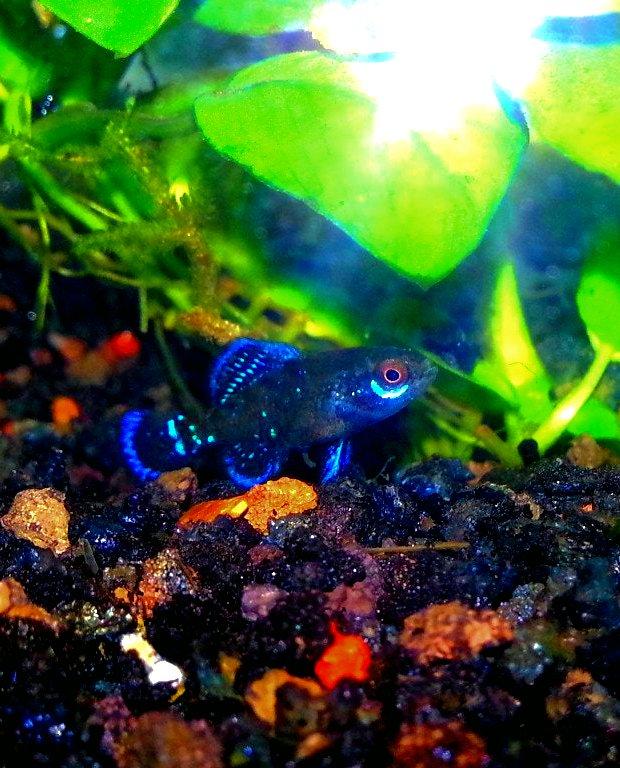 Gulf Coast Pygmy Sunfish