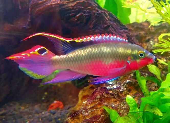 A Kribensis Cichlid with vibrant coloration
