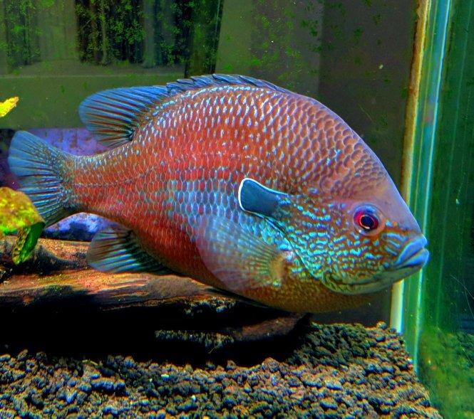 Longear Sunfish in aquarium