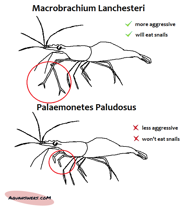 Visual difference between the aggressive snail-eating shrimp Macrobrachium Lanchesteri and its less aggressive counterpart Palaemonetes Paludosus
