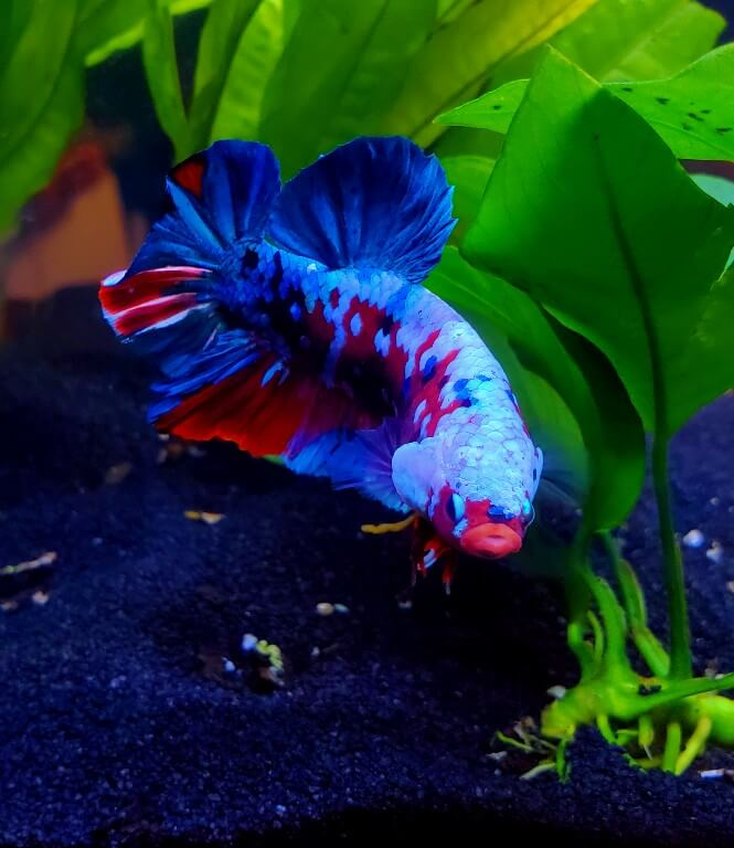 A Marble Betta fish with a colorful body pattern