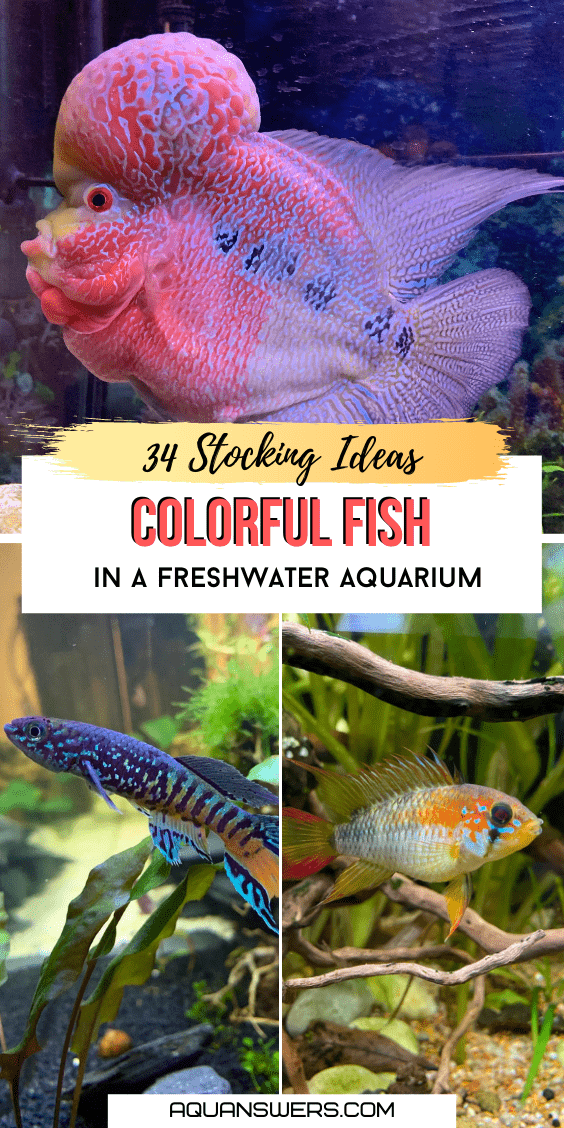 ideas for colorful fish in a freshwater aquarium