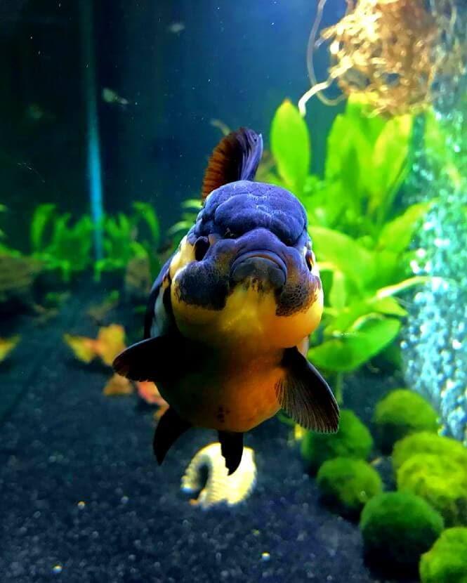 Oranda Goldfish facing the camera