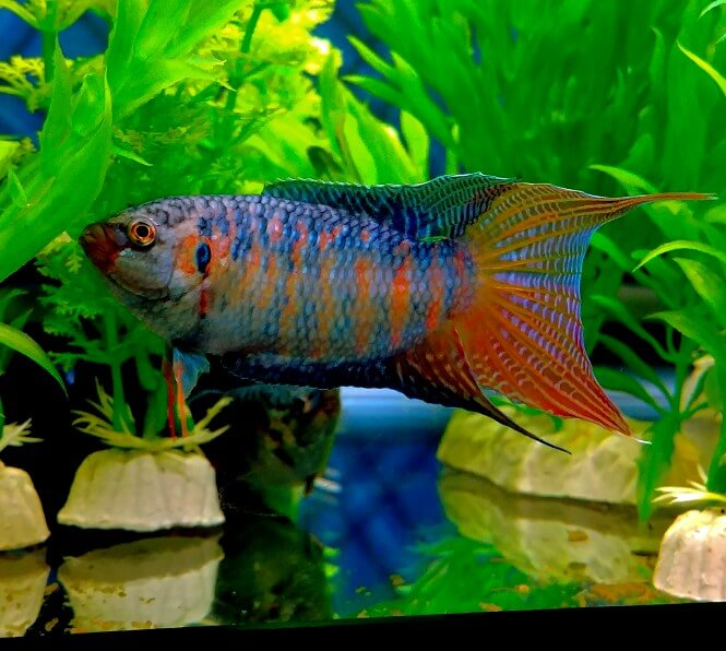 A beautiful Paradise Gourami Fish