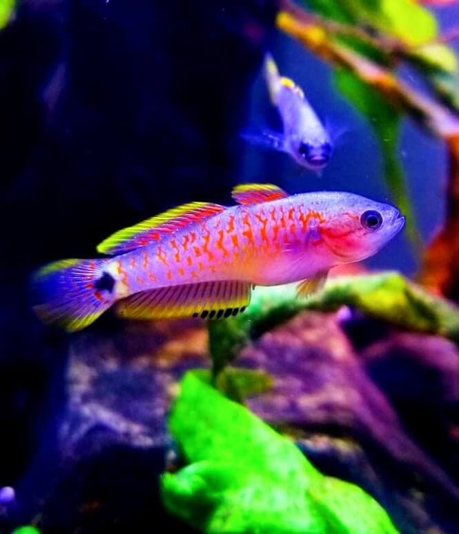 A super colorful Peacock Gudgeon siwmming in its aquarium