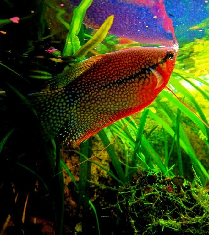 A stunning Pearl Gourami in its planted tank