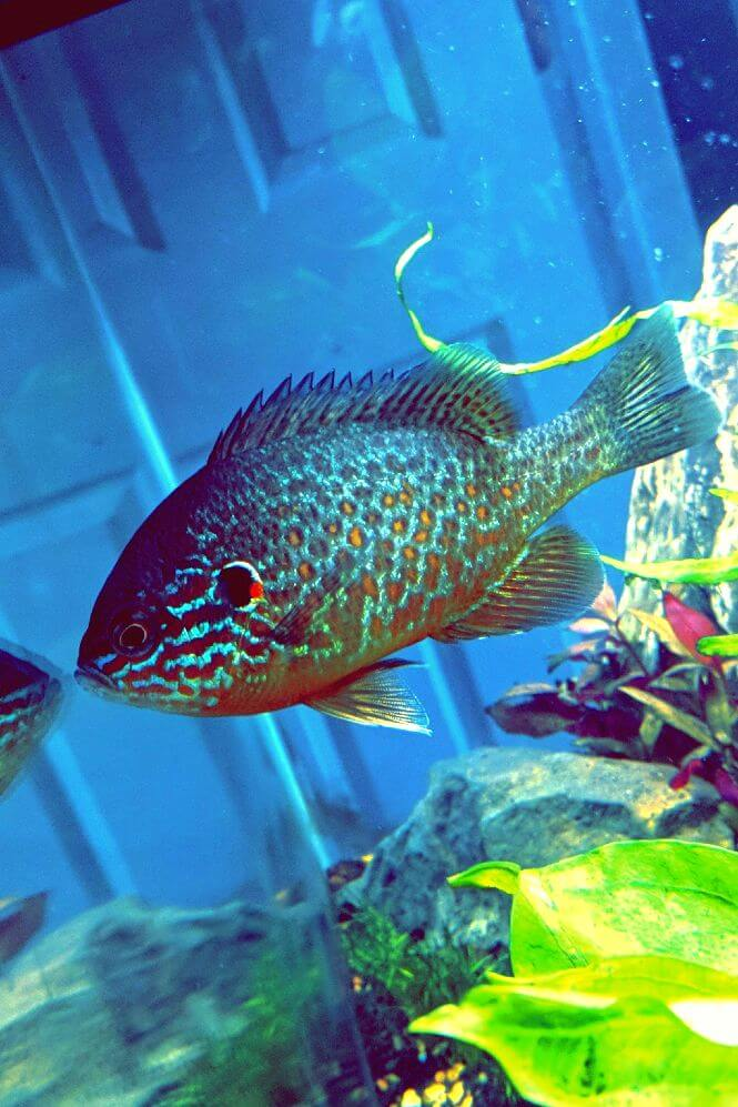Pumpkinseed Sunfish looking at its reflection in a glass