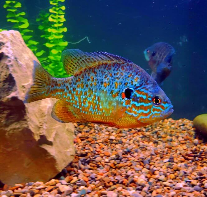 A centerpiece Pumpkinseed Sunfish with beautiful colors