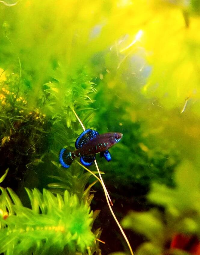 A Pygmy Sunfish swimming across aquarium plants